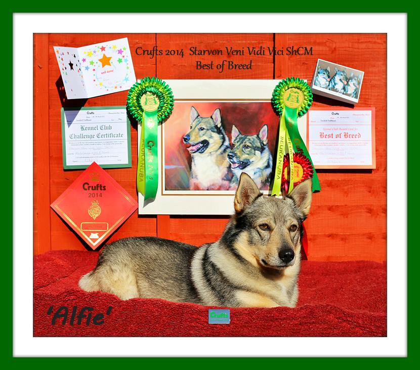 Best Dog Shampoo for Hound, Coarse Coat, Harsh Coat, Swedish Vallhund